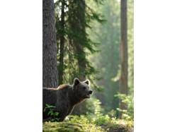 Bear Watching – Venture on bears' trails